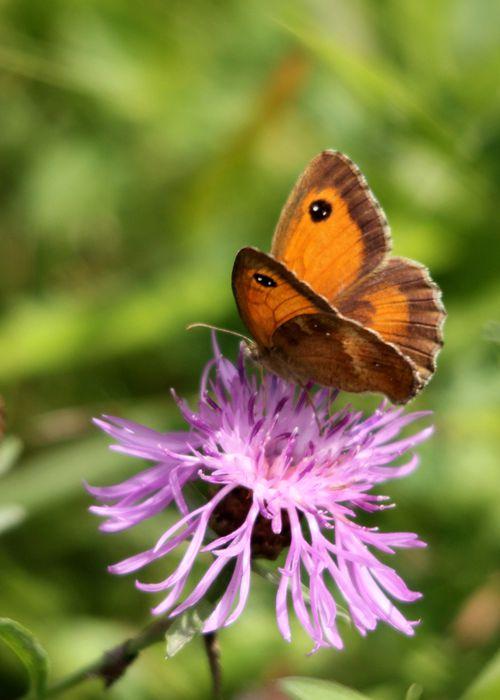 papillons 0352
