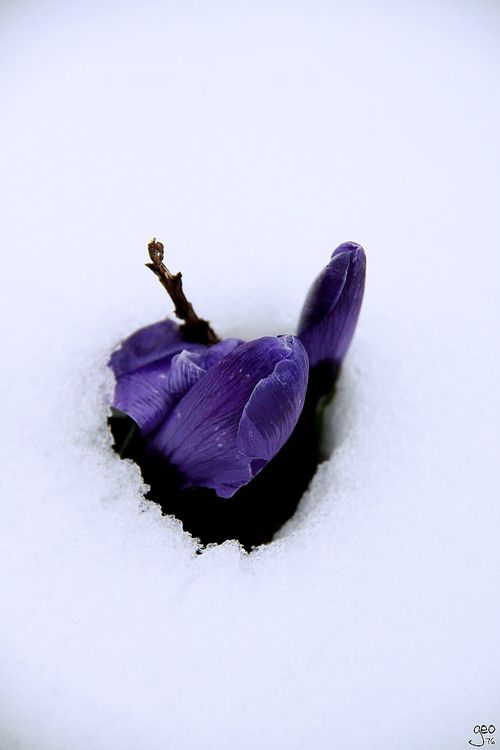 13-03-2013---CROCUS-A-LA-NEIGE-copie-1.JPG