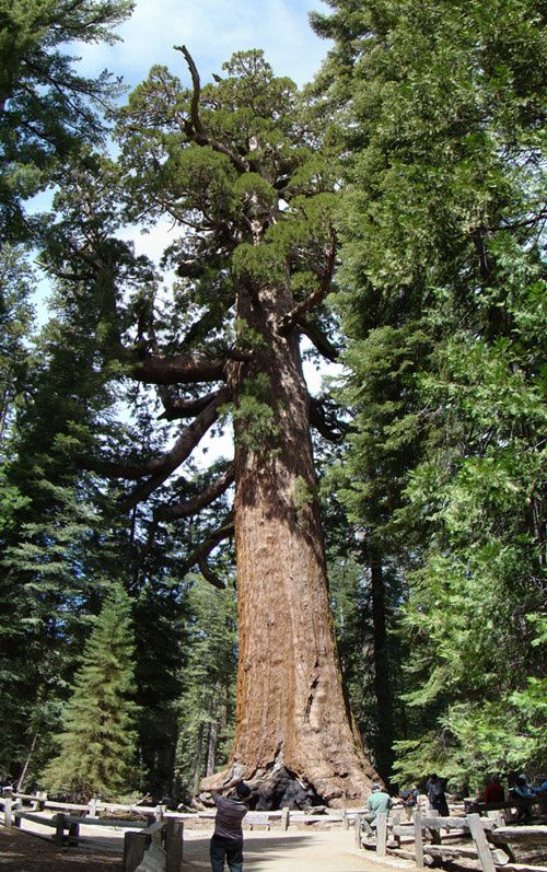 photo-sequoia-geant-sherman du-parc-yosemite-scion.jpg