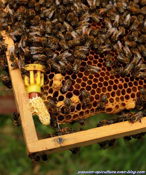 Elevage de reine d'abeilles