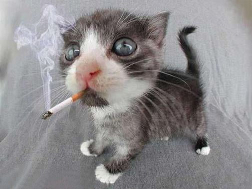 cat smoking a joint