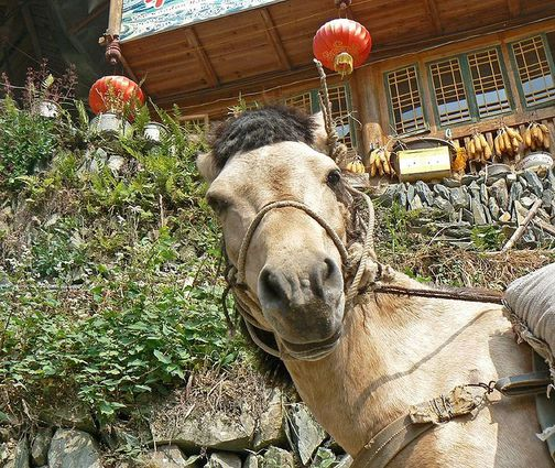 711px-China_tour_long_sheng_small_horse_looking_at_me.jpg