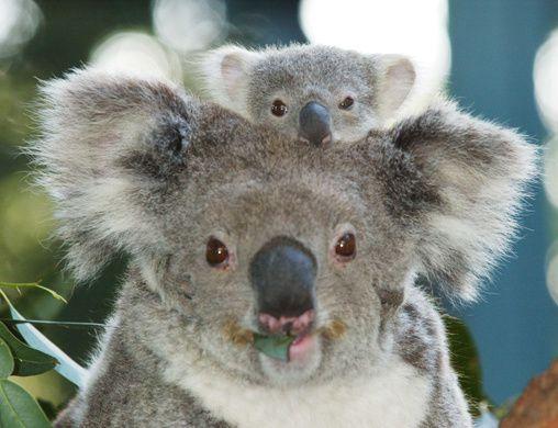 Koala_Baby.jpg