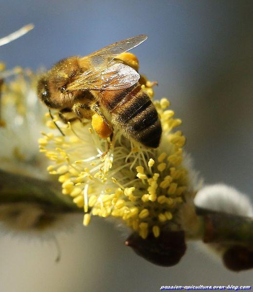 Saule et abeille. (9)