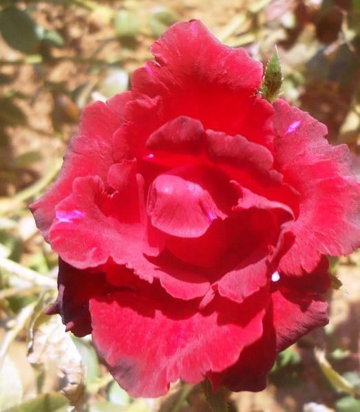 Une Rose.N°6170