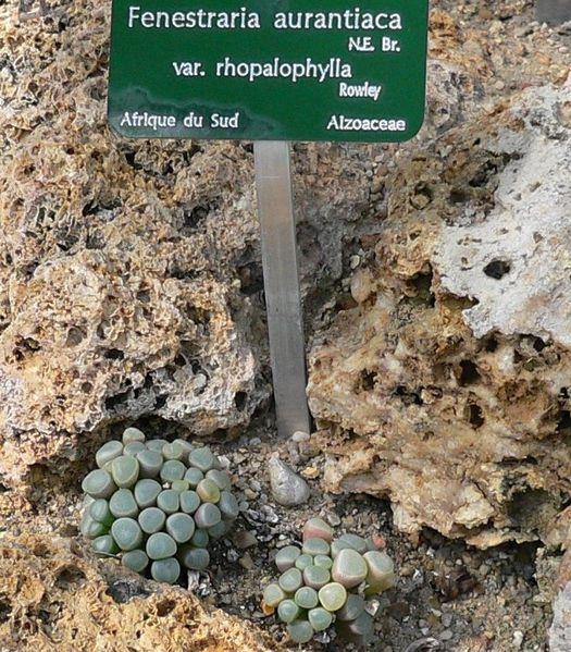 fenestraria aurantiaca v. rhopalophylla aout 12