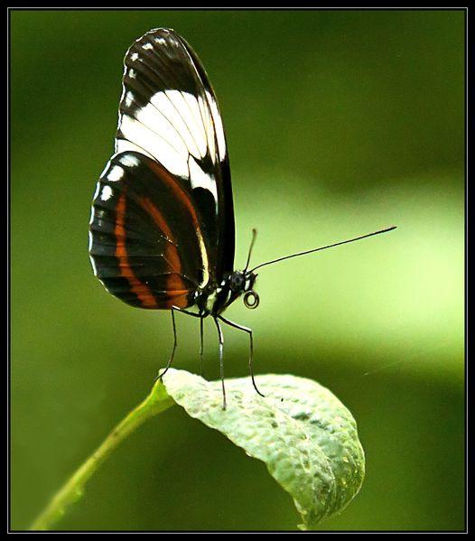 lepidopteres--4-.jpg