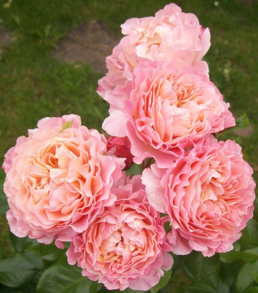 roses-anglaises-roses.jpg