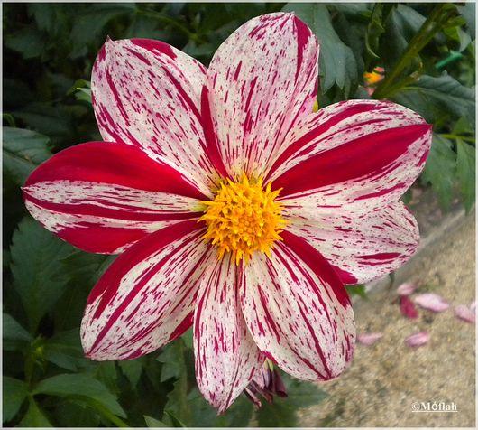 23 octobre 2011 Dahlia parc Floral 3