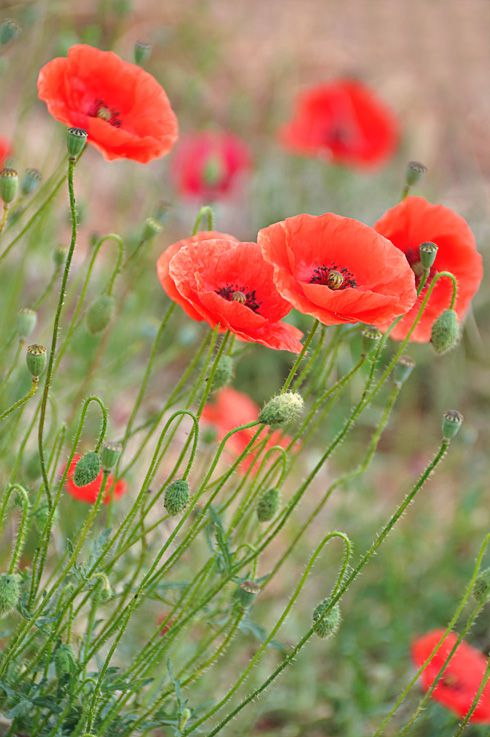 Coquelicots_poppies.jpg
