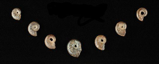 Abri-Pataud--Dordogne--Ammonites-pyriteuses-perforees-jpg