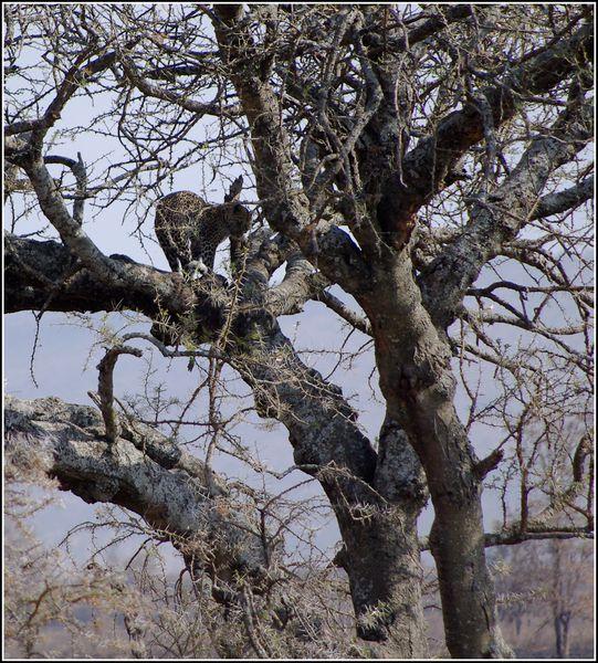 leopard dans le serengeti