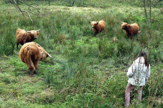 Les-vaches-rustiques.jpg