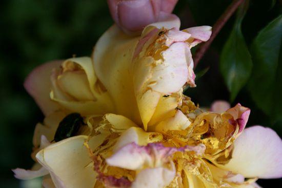 Le-croqueur-de-rose