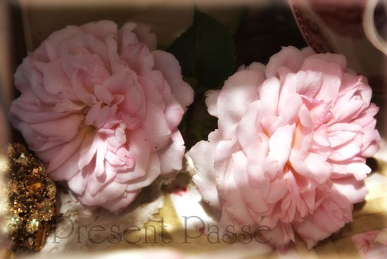 roses 105