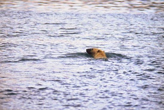 L-ours-polaire-en-pleine-eau.-Copie-compressee.-copie-2.jpg