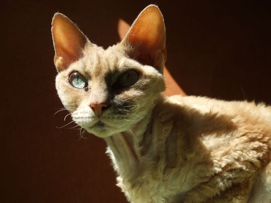 Devonrex cat wikipedia