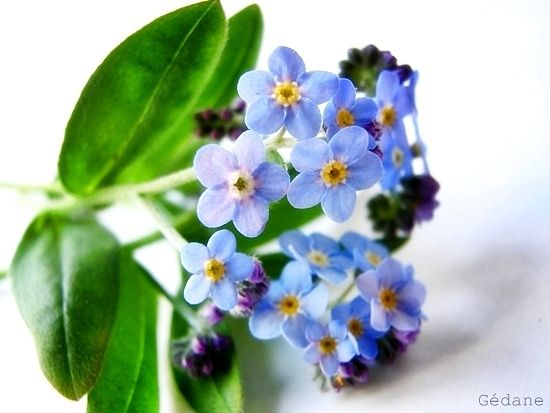 myosotis3.JPG