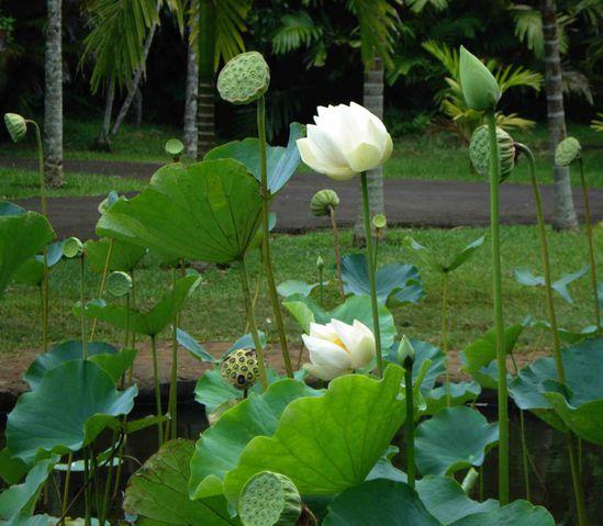 042 Botanic garden Seewoosagur Ramgoolam C