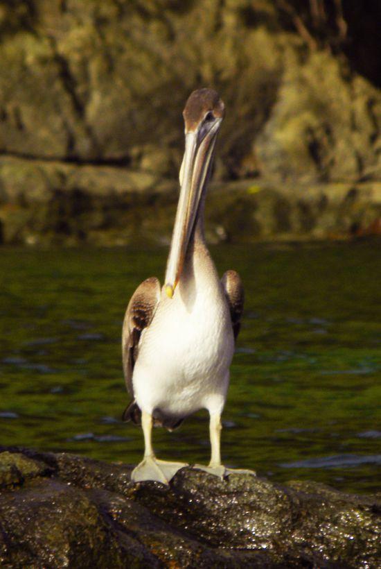 Pelicans Tobago é