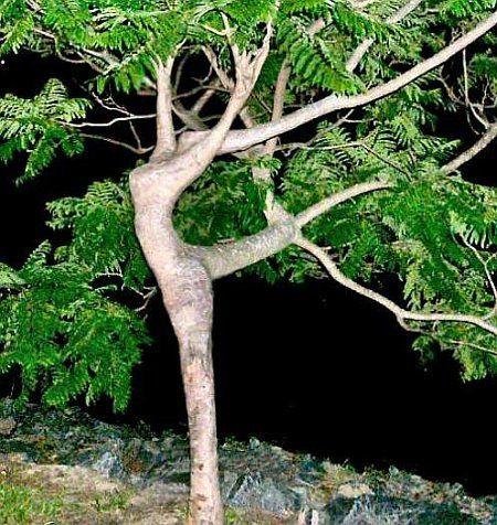 arbre danseuse