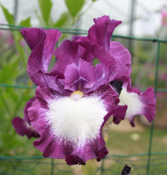 Iris germanica 'cozy calico'