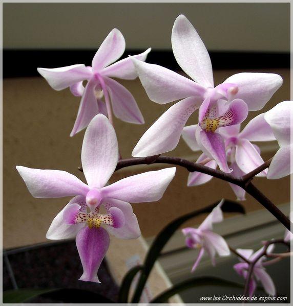 Phalaenopsis x Veitchiana