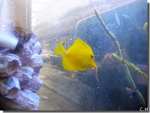 Decaux Aquarium poisson Jaune