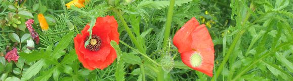 photo-bandeau--coquelicots-2.jpg