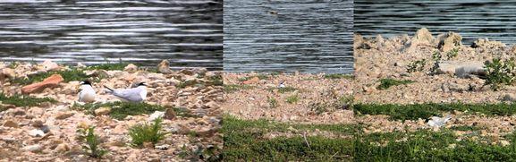 110523 (14) montage nidif Strene naine