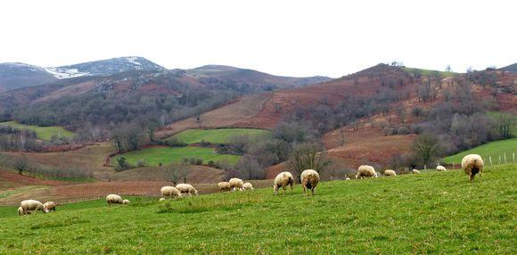Paysage et moutons près d'Hélette
