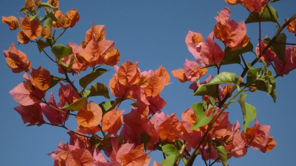 Bougainvillée orange