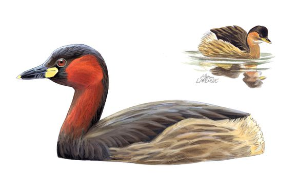 Grebe castagneux - Alban Larousse