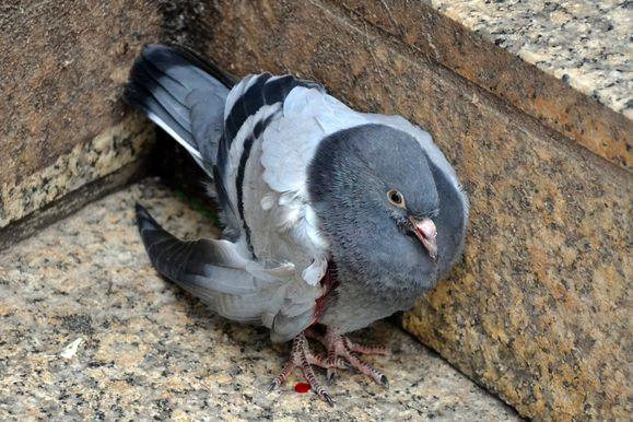 pigeon-blesse-6-recadre.jpg