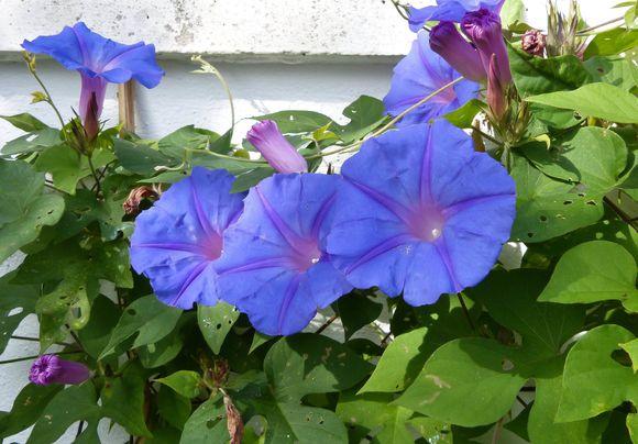 Fleurs-d-ipomee-a-differents-stades.jpg