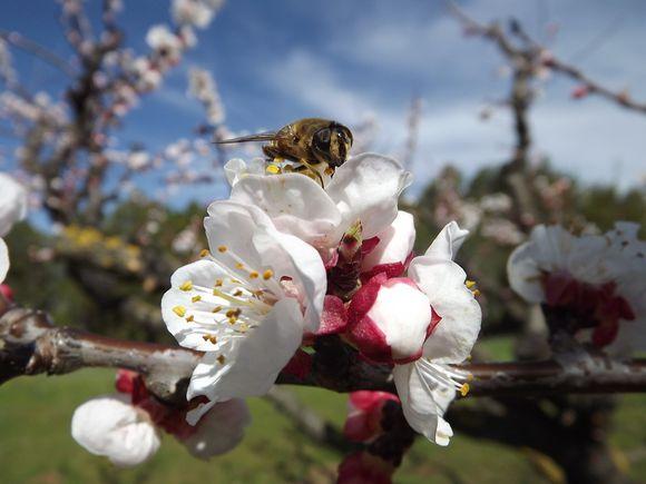 ABRICOTIERS EN FLEURS MARS 2013 PROVENCE (2)