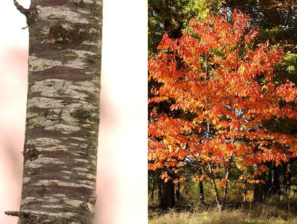 A2 130418 (27)m Prunus avium