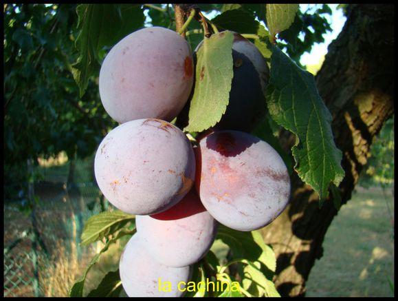 prunes-de-brignoles--4-.JPG