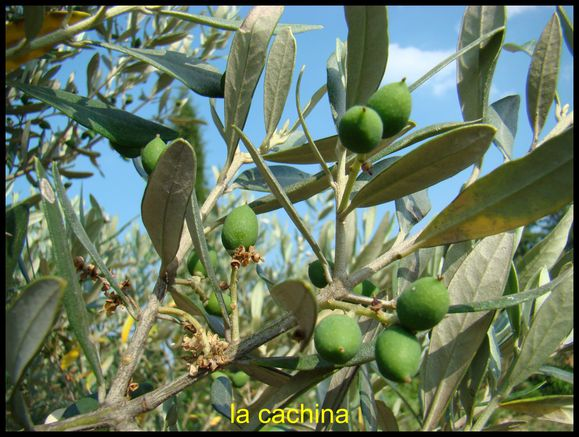olive-naissante.JPG