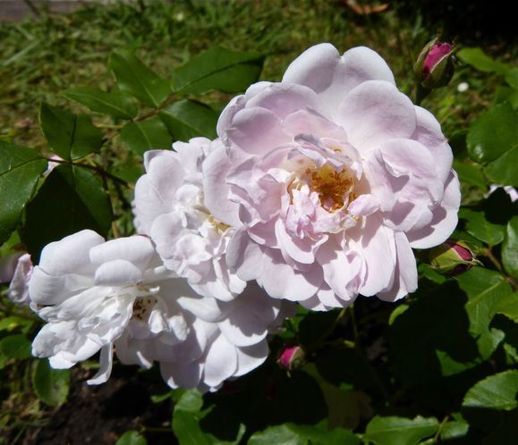 Rose-Blush-noisette.jpg