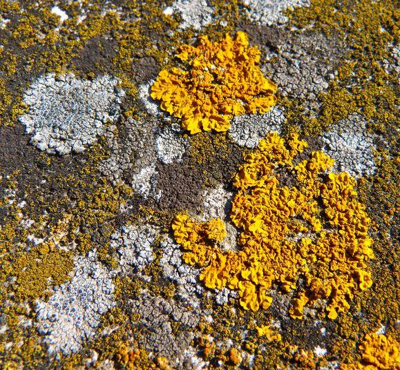Mousses et lichens 5