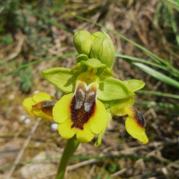 Ophrys-lutea.jpg