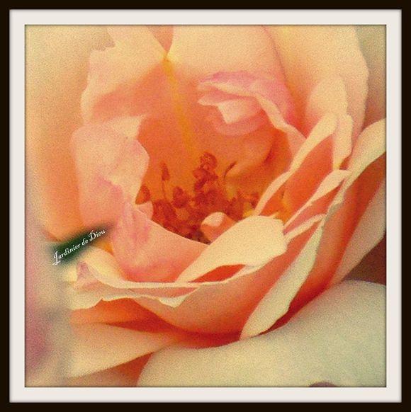 coeur-de-rose.jpg