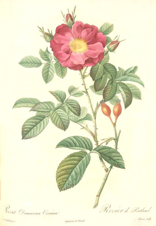 Rosa-Damascena-Coccinea.jpg