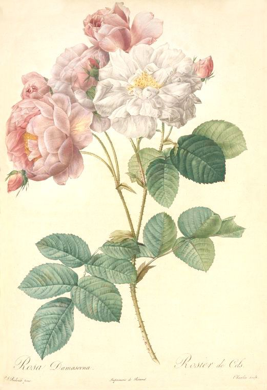 Rosa-Damascena--Celestiana.jpg