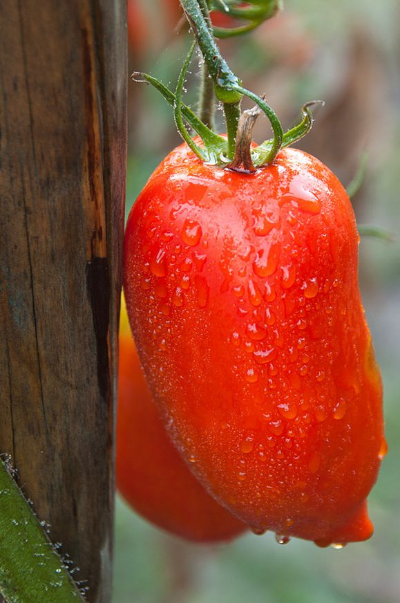 tomates cornues andes