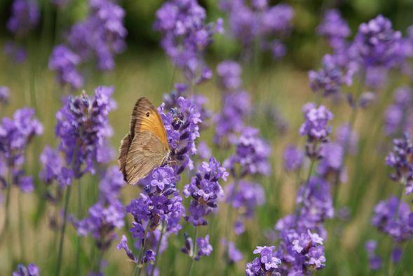 lavande et papillon
