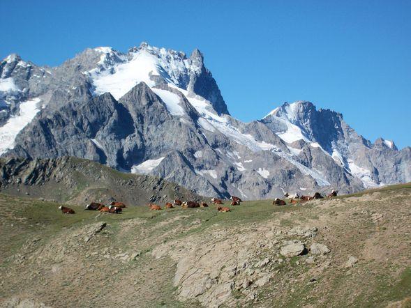 100 1199 troupeau de vaches au pied de la meige