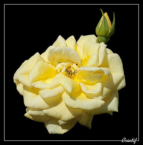 Fleurs--sur-fond-noir---2-.jpg