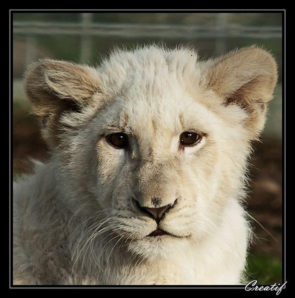 lionceau.jpg